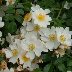 Růže půdopokryvná 'Weisse Immensee' - Rosa PK 'Weisse Immensee'