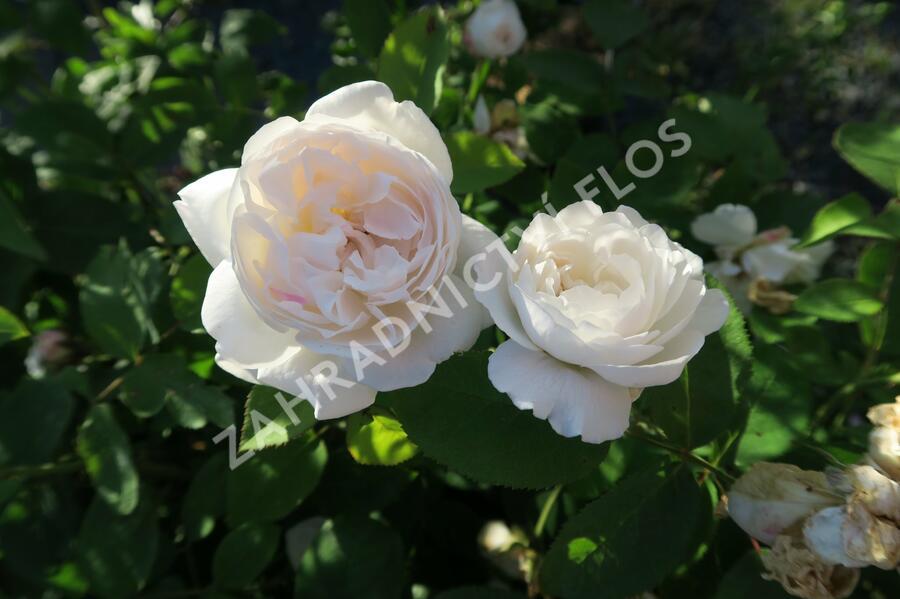Anglická růže Davida Austina 'Winchester Cathedral' - Rosa S 'Winchester Cathedral'