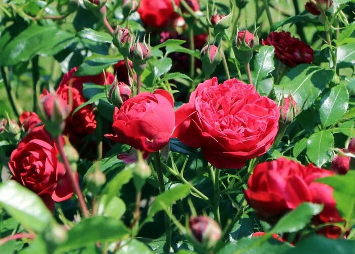 Růže mnohokvětá Kordes 'Out of Rosenheim' - Rosa MK 'Out of Rosenheim'