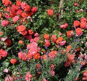 Růže mnohokvětá Kordes 'Gebrüder Grimm' - Rosa MK 'Gebrüder Grimm'