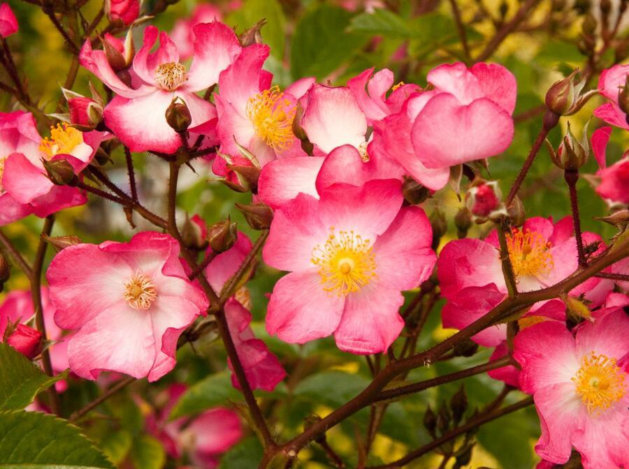 Růže půdopokryvná Kordes 'Juanita' - Rosa PP 'Juanita'