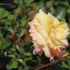 Růže mnohokvětá Tantau 'Candela' - Rosa MK 'Candela'