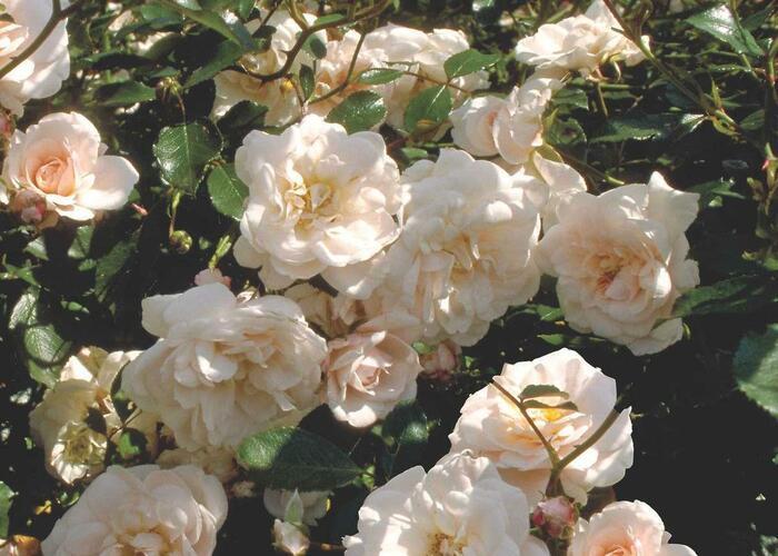 Růže mnohokvětá Meilland 'Pearl Meidiland' - Rosa MK 'Pearl Meidiland'