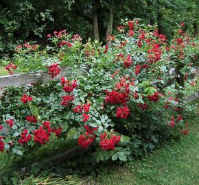 Růže mnohokvětá Meilland 'Scarlet Meidiland' - Rosa MK 'Scarlet Meidiland'
