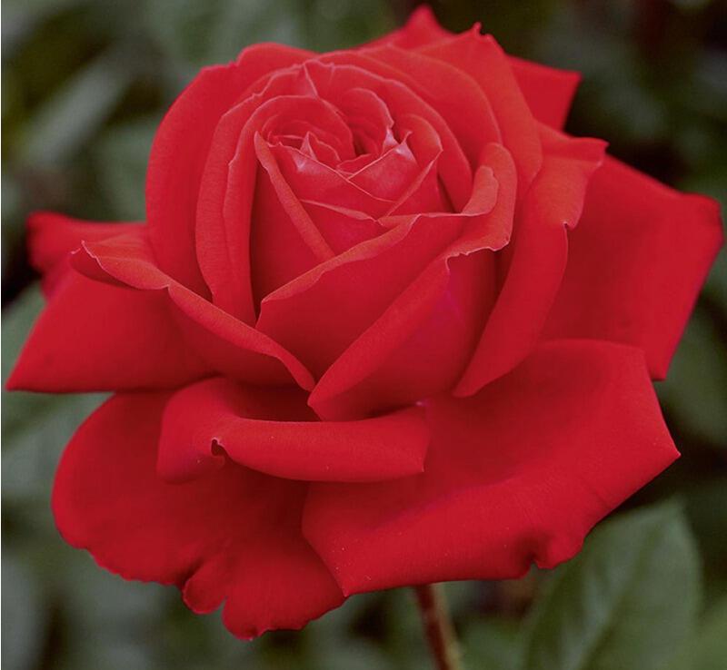 Růže velkokvětá Meilland 'Marylou' - Rosa VK 'Marylou'