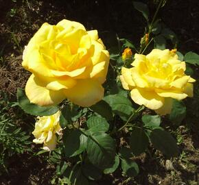 Růže velkokvětá Meilland 'Nicolas Hulot' - Rosa VK 'Nicolas Hulot'