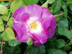 Růže mnohokvětá 'Blue for You' - Rosa MK 'Blue for You'