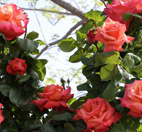 Růže velkokvětá Meilland 'Christophe Colomb' - Rosa VK 'Christophe Colomb'