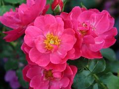 Růže mnohokvětá Kordes 'Hotline' - Rosa MK 'Hotline'