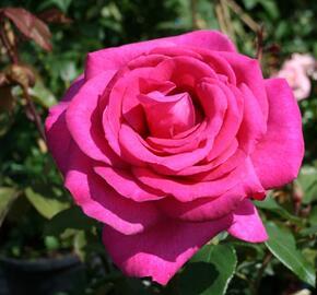 Růže velkokvětá Kordes 'Parole' - Rosa VK 'Parole'