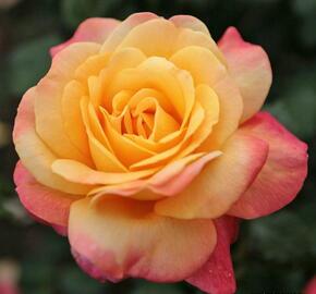 Růže velkokvětá Kordes 'Speelwark' - Rosa VK 'Speelwark'