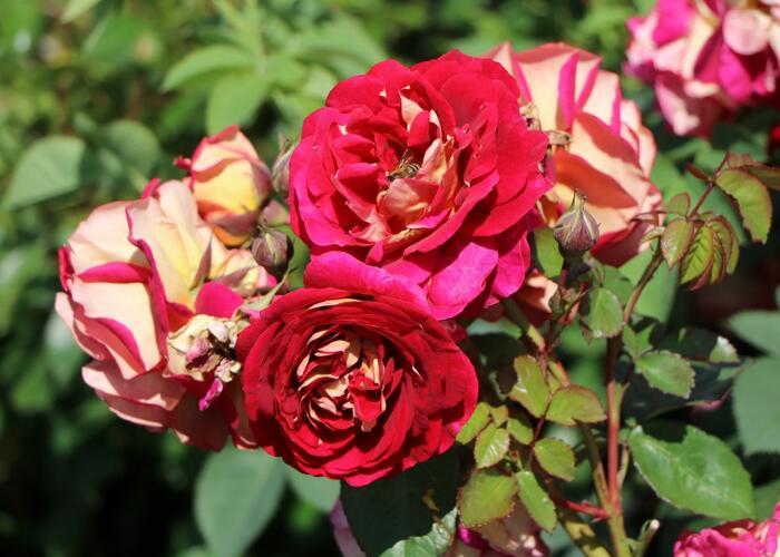 Růže mnohokvětá Kordes 'Die Sehenswerte' - Rosa MK 'Die Sehenswerte'