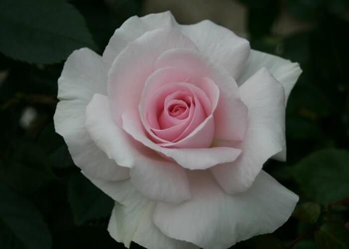 Růže velkokvětá 'Whiter Shade of Pale' - Rosa VK 'Whiter Shade of Pale'