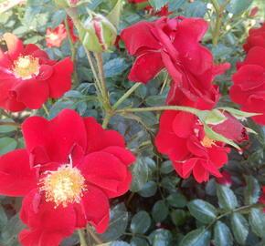 Růže mnohokvětá Tantau 'Salsa' - Rosa MK 'Salsa'
