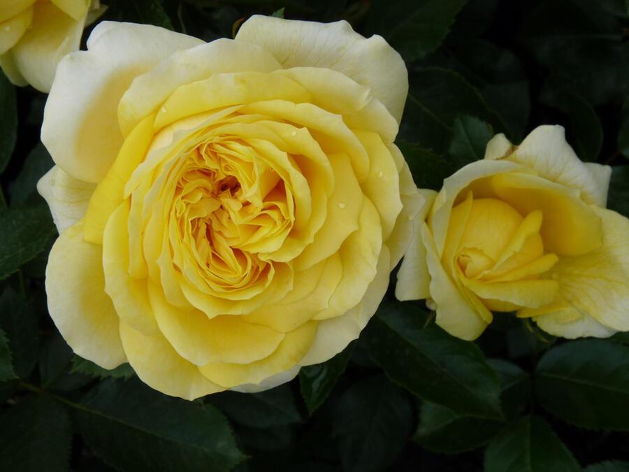 Růže velkokvětá Meilland 'Toulouse Lautrec' - Rosa VK 'Toulouse Lautrec'