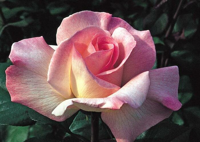 Růže velkokvětá 'Pristine' - Rosa VK 'Pristine'