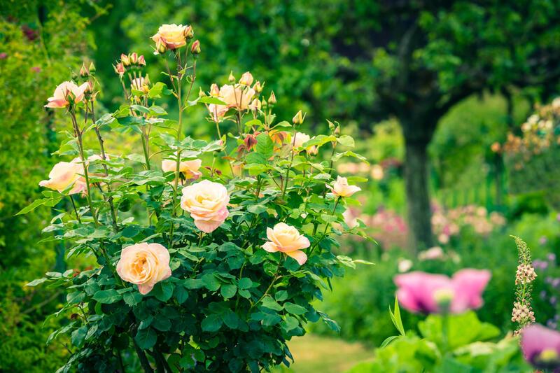 Růže se slevou 10 % do 24. 6.