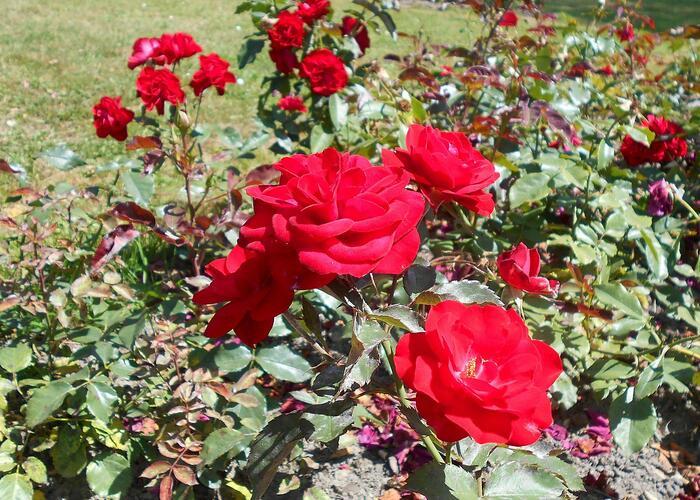 Růže mnohokvětá 'Europeana' - Rosa MK 'Europeana'