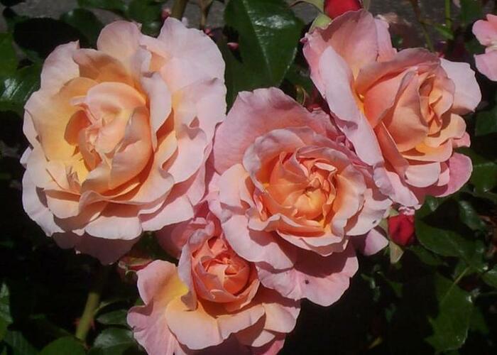 Růže mnohokvětá Meilland 'Marie Curie' - Rosa MK 'Marie Curie'