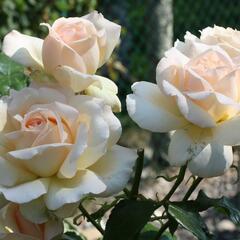 Růže velkokvětá 'Chandos Beauty' - Rosa VK 'Chandos Beauty'
