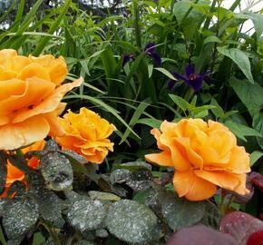 Růže mnohokvětá 'Vavoom' - Rosa MK 'Vavoom'