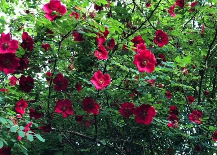 Růže Moyesova 'Geranium' - Rosa moyesii 'Geranium'