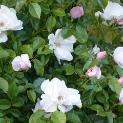 Růže parková 'Pearl Drift' - Rosa S 'Pearl Drift'