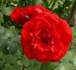 Růže parková 'Shalom' - Rosa S 'Shalom'