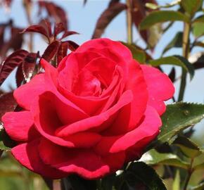 Růže velkokvětá 'Grande Classe' - Rosa VK 'Grande Classe'