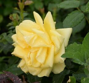 Růže velkokvětá 'Guy's Gold' - Rosa VK 'Guy's Gold'