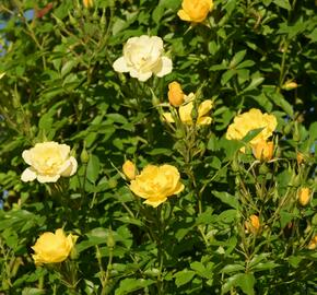 Růže pnoucí 'Golden Age' - Rosa PN 'Golden Age'