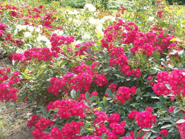 Růže půdokryvná 'Alberich' - Rosa PK 'Alberich'