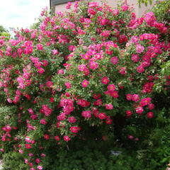 Růže pnoucí 'William Baffin' - Rosa PN 'William Baffin'
