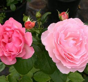 Růže pnoucí 'Climbing Sorbet' - Rosa PN 'Climbing Sorbet'