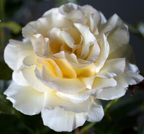 Růže velkokvětá 'Anastasia' - Rosa VK 'Anastasia'