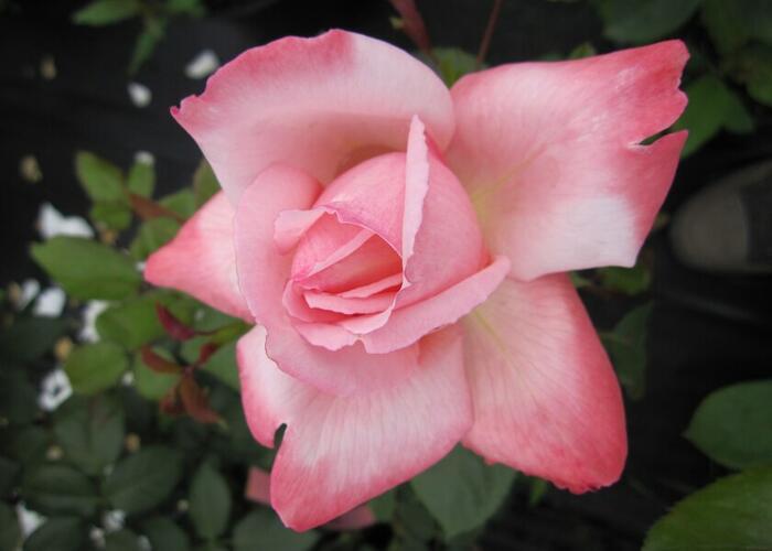 Růže velkokvětá Meilland 'Arioso' - Rosa VK 'Arioso'