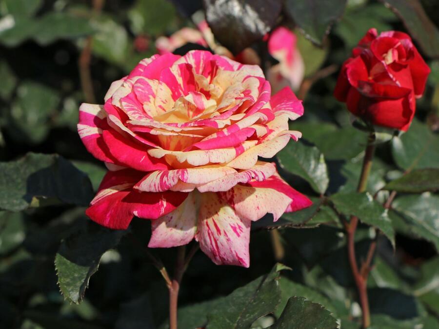 Růže velkokvětá 'Broceliande' - Rosa VK 'Broceliande'