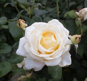 Růže velkokvětá 'Caroline Victoria' - Rosa VK 'Caroline Victoria'