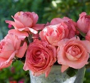 Růže velkokvětá Meilland 'Arthur Rimbaud' - Rosa VK 'Arthur Rimbaud'