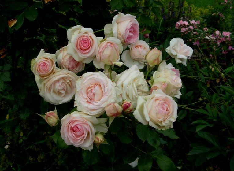 Růže velkokvětá Meilland 'Andre le Notre' - Rosa VK 'Andre le Notre'