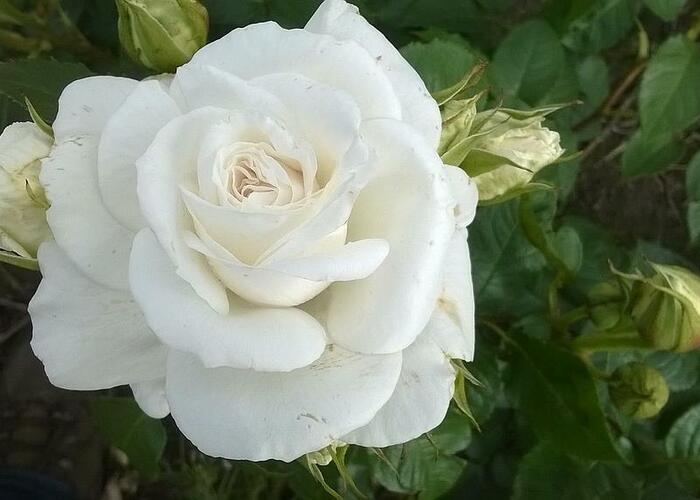 Růže velkokvětá 'Annapurna' - Rosa VK 'Annapurna'