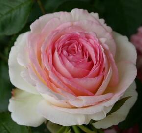 Růže pnoucí 'Mini Eden Rose' - Rosa PN 'Mini Eden Rose'