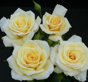 Růže velkokvětá 'Diamonds Forever' - Rosa VK 'Diamonds Forever'