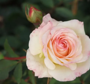 Růže velkokvětá Meilland 'Galaxy' - Rosa VK 'Galaxy'
