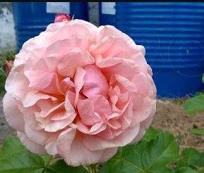 Růže mnohokvětá 'Princesse Stephanie Grande-Duchesse Heritiere de Luxembourg' - Rosa MK 'Princesse Stephanie Grande-Duchesse Heritiere de Luxembourg'