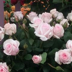 Růže mnohokvětá 'Rosa Belmonte' - Rosa MK 'Rosa Belmonte'