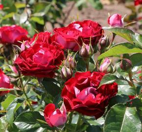Růže mnohokvětá Kordes 'Rose der Einheit' - Rosa MK 'Rose der Einheit'