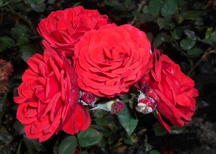 Růže mnohokvětá Tantau 'Allotria' - Rosa MK 'Allotria'