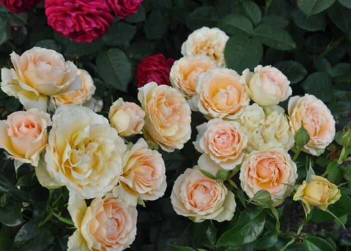 Růže mnohokvětá 'Henrietta Barnett' - Rosa MK 'Henrietta Barnett'