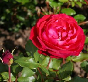 Růže mnohokvětá Meilland 'Rouge Meilove' - Rosa MK 'Rouge Meilove'